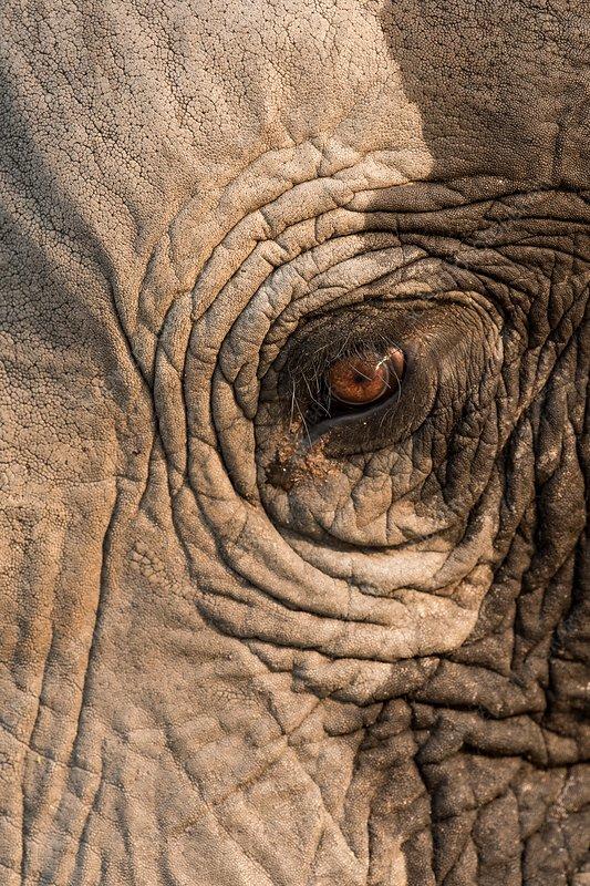African elephant's eye