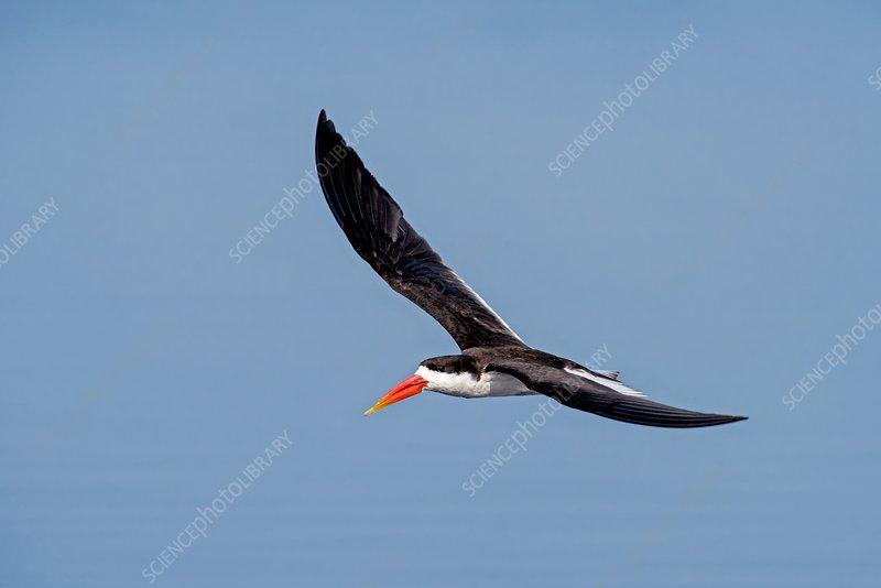 African skimmer in flight