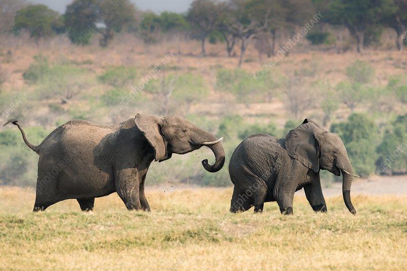 African elephants on the Chobe floodplain