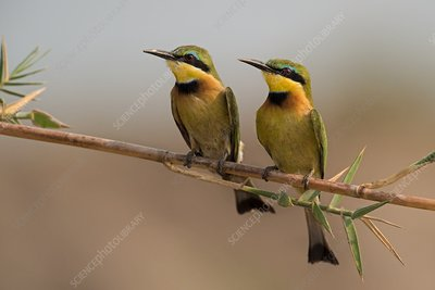 Pair of little bee-eaters on a reed