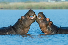 Hippopotamuses being affectionate