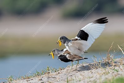 White-crowned lapwings mating