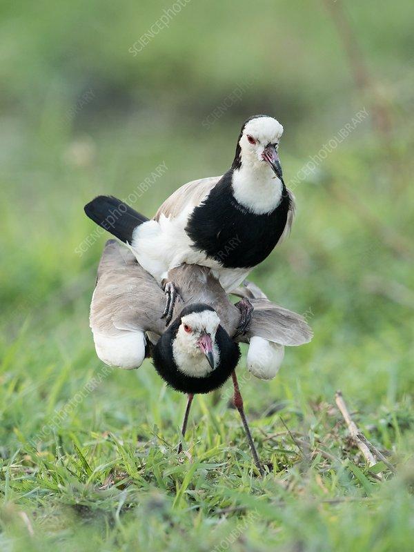 Long-toed lapwings mating