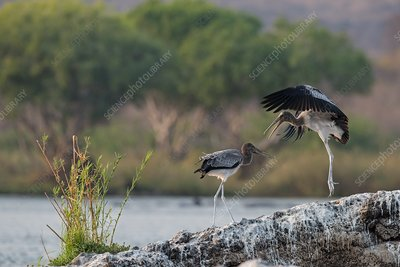 Immature yellow-billed storks at play