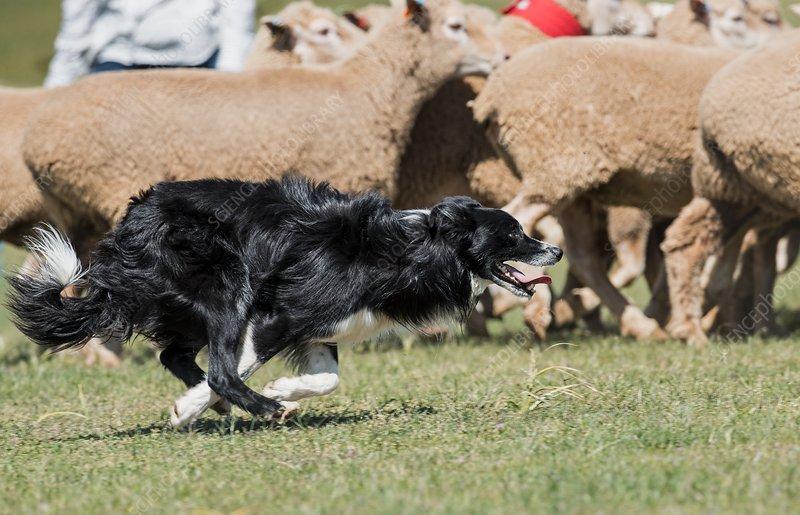 Sheep dog herding sheep