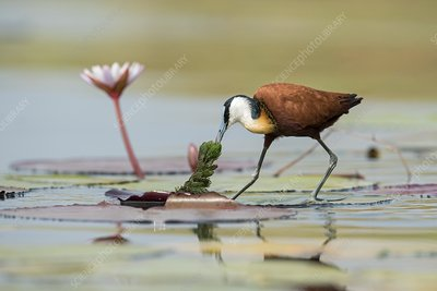 African jacana foraging for insects
