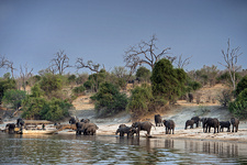 African elephants on the Chobe river bank