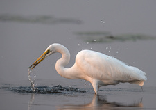 Great white egret with caught fish