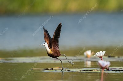 African jacana taking off