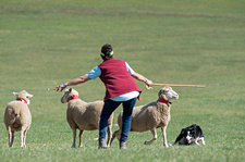 Border Collie and handler with sheep