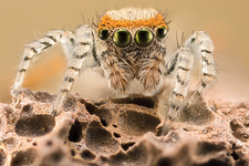 Saitis barbipes jumping spider, macrophotograph