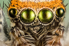 Eyes of a jumping spider, macrophotograph