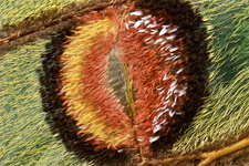 Spanish moon moth eyespot, macrophotograph