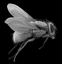 Bluebottle fly, SEM
