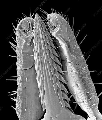 Ixodes tick mouthparts, SEM