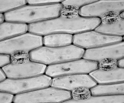 Plant stomata, light micrograph