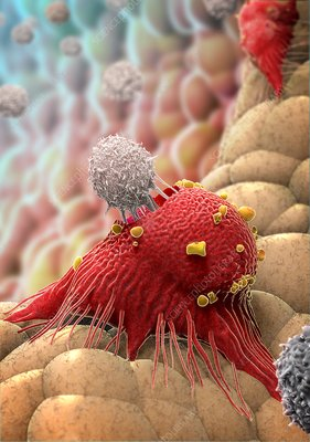 T-lymphocytes, illustration