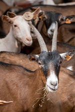 Domestic goats