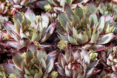 Houseleek (Sempervivum 'Blue Boy')