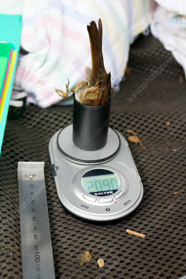 Dunnock being weighed