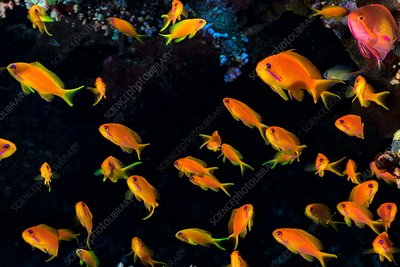 School of lyretail anthias