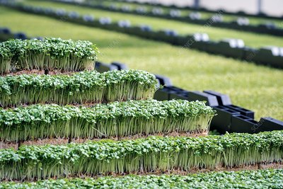 Cress production