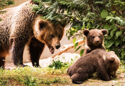 European brown bear and cubs