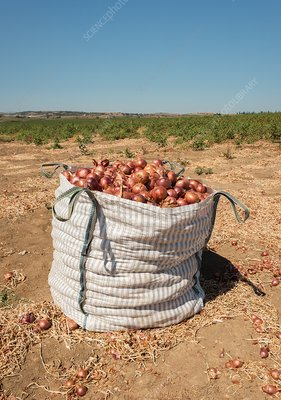 Red Onion harvest, Thiva, Greece.
