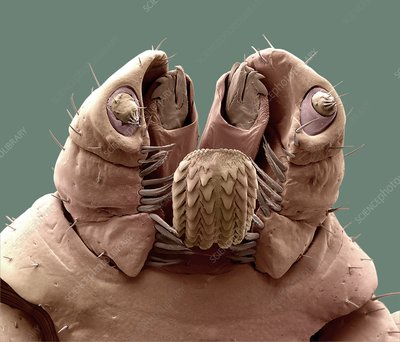 Brown dog tick mouthparts, SEM