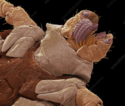 American dog tick mouth parts, SEM