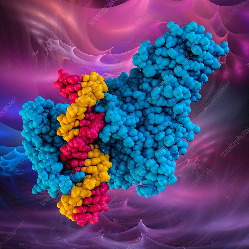 Methyltransferase complexed with DNA