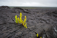 Lava flow and new plants, Hawaii