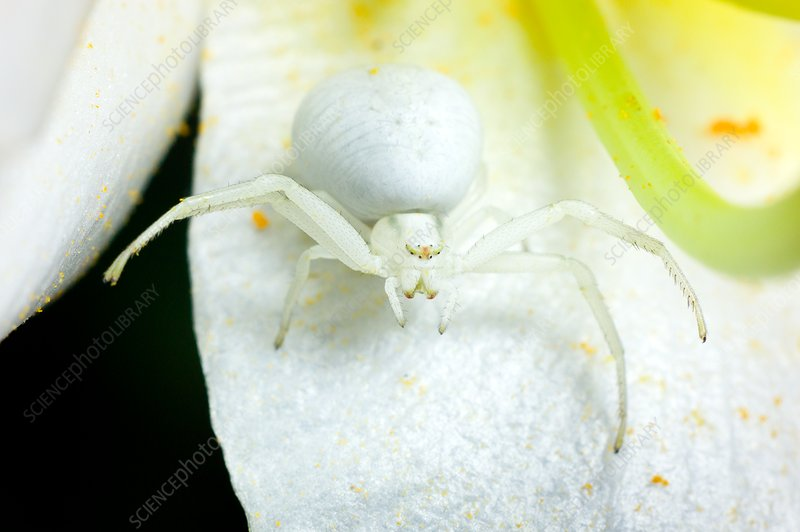 Flower crab spider, Misumena vatia