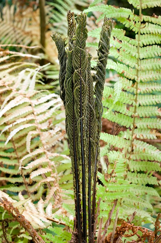 Matteucia struthiopteris fertile fronds
