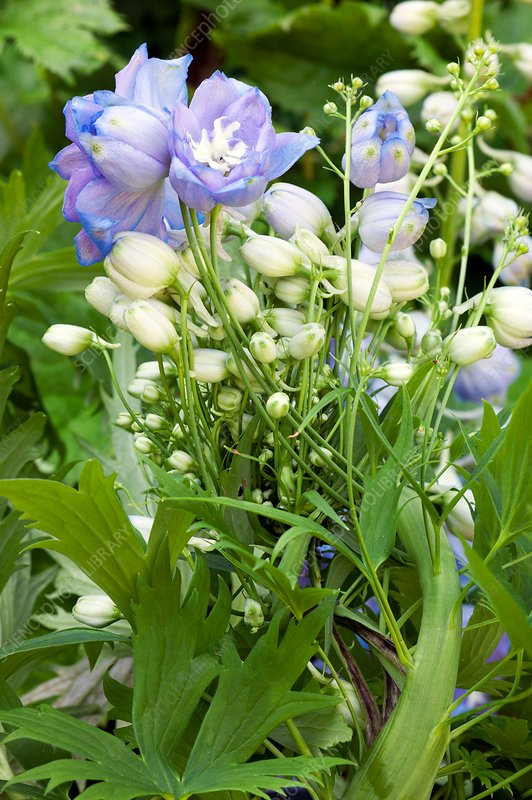 Fasciation of a delphinium flower spike