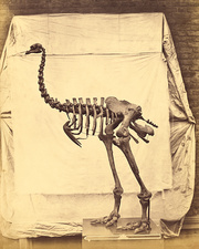 Heavy-footed moa fossil skeleton, 1850s