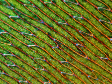Bryum moss leaf, light micrograph