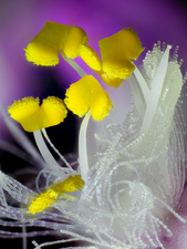 Tradescantia flower anthers, macrophotograph