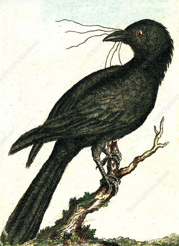 Jackdaw, 19th Century illustration