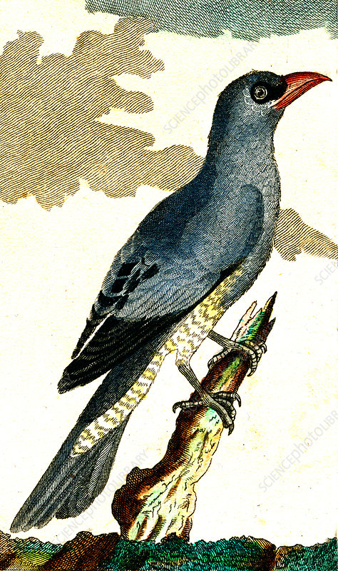 Blue wood pigeon, 19th Century illustration