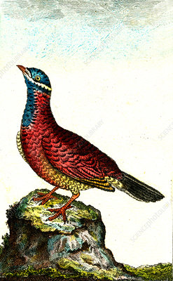 Turtle dove, 19th Century illustration
