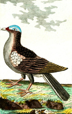 White-crowned pigeon, 19th Century illustration
