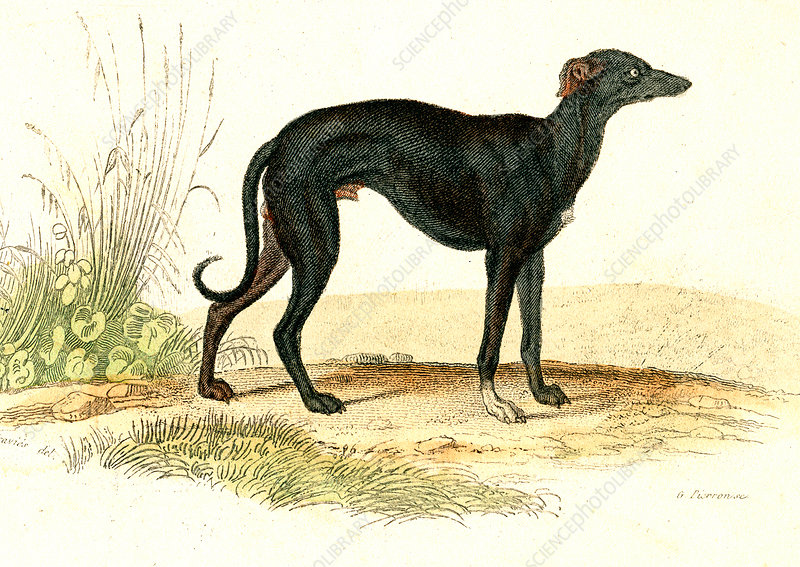 Greyhound, 19th Century illustration