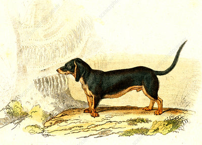 Dachshund, 19th Century illustration