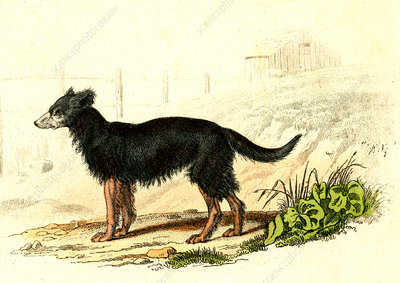 Domestic dog, 19th Century illustration