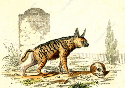 Striped hyena, 19th Century illustration