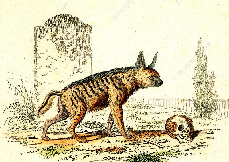 Striped hyena, 19th Century illustration
