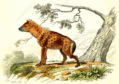 Spotted hyena, 19th Century illustration