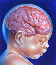 Baby's brain at full term, illustration