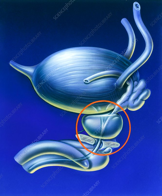 Prostate gland location, illustration - Stock Image C037/9529 ...